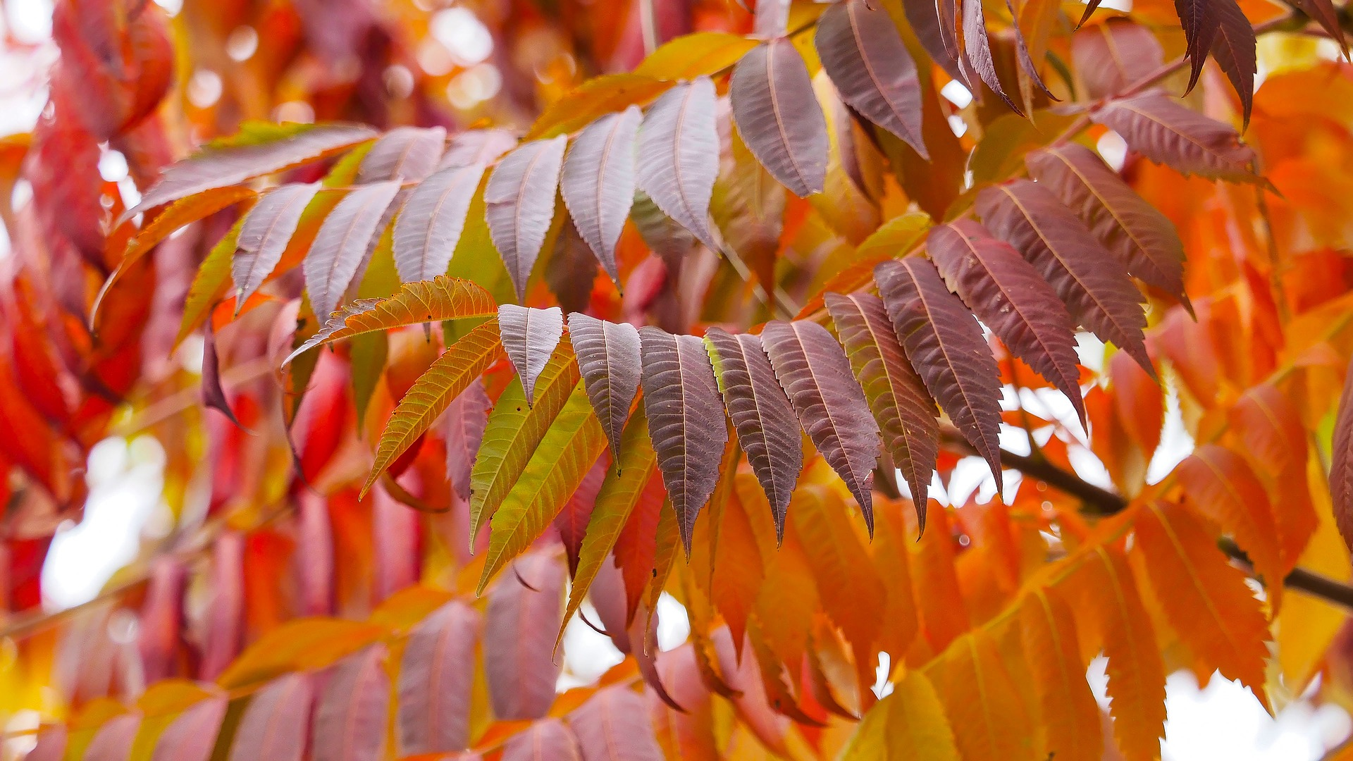 Staghorn sumac leaves